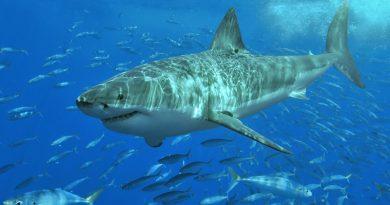 Weißer Hai - Symbolfoto von Terry Goss, CC BY 2.5, Link