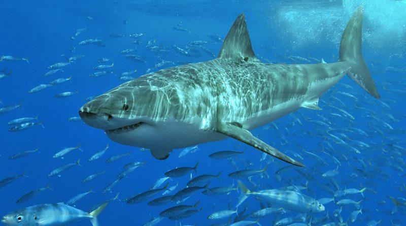 Weiße Haie im Mittelmeer stammen von australischen Vorfahren ab