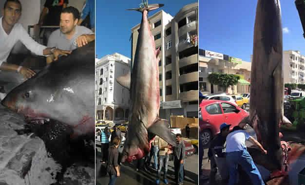 Im Jahr 2015 vor Sousse gefangener Weißer Hai